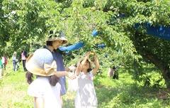 180602産直梅収穫交流会02.JPG