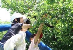 180602産直梅収穫交流会03.JPG